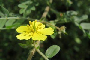 bulgarian tribulus terrestris the real benefits